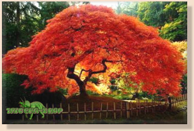 Acer Ginnala Bonsai Tree Seeds Flame Amur Maple Fresh Seeds